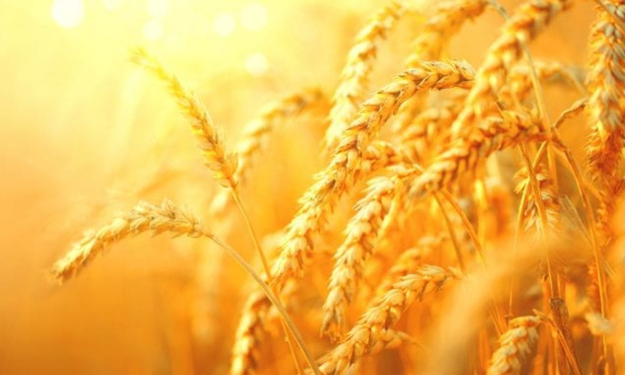 Featured image of golden wheat for Country Harmony Natural Foods in Lehighton PA